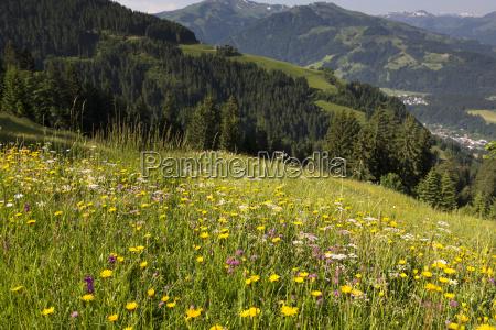 bunte fruehlingswiese in den alpen bayern