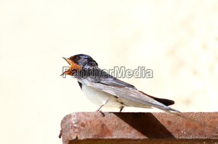 hirundinidae die schwalbe
