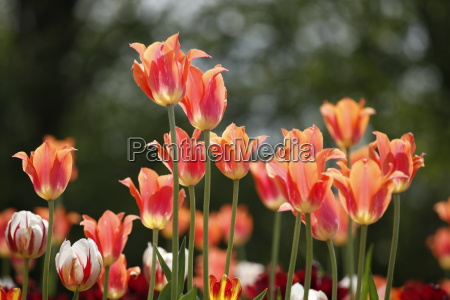 many tulips before blurred background