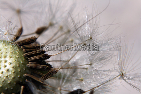 close up of a withered dandelion