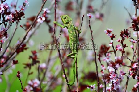 gruenes chamaeleon schwingt auf einem ast