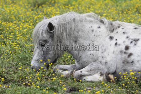 pony on the flower meadow