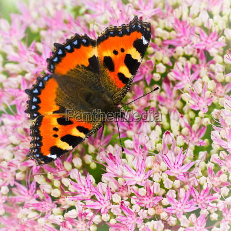 small tortoiseshell butterfly or aglais urticae