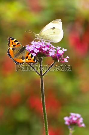 large white and small tortoiseshell butterflies