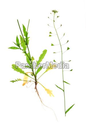 gewoehnliches hirtentaeschel capsella bursa pastoris