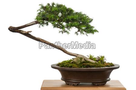 weiss freigestellter wacholder als bonsai baum
