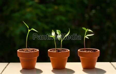 kleine chilipflanzen