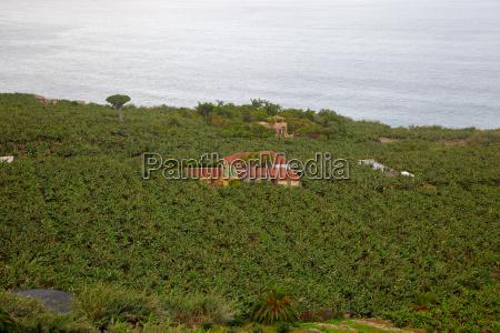 banana plantation in tenerife canary islands