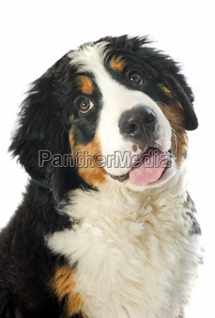 welpe bernese moutain hund