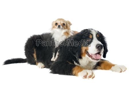 welpe bernese moutain hund und chihuahua