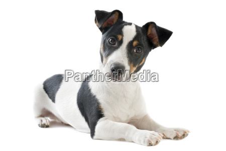 welpen jack russel terrier