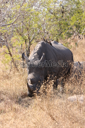 africa south africa safari rhinoceros