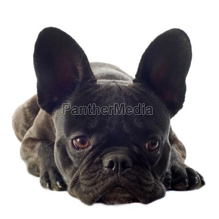 franzoesische bulldogge