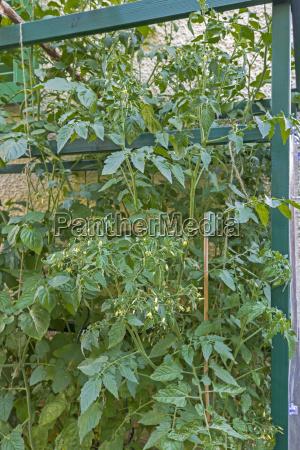 flowering tomato plants
