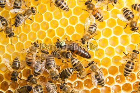 bienenkoenigin in bienenstock eier zu legen