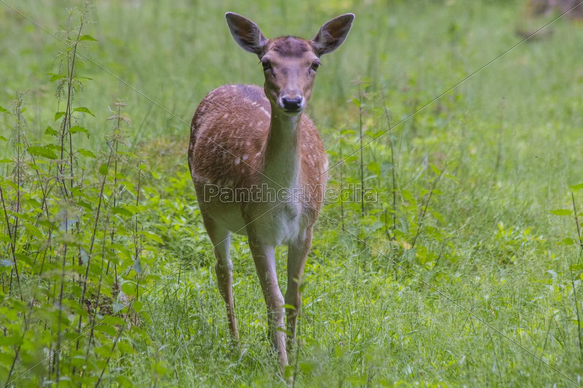 hirsch reh antilope rotwild dammwild kudu lizenzfreies. Black Bedroom Furniture Sets. Home Design Ideas