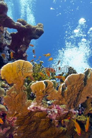korallenriff mit grossen feuerkorallen und exotischen