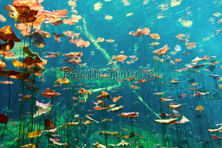 lily, pads, in, der, cenote, aktun - 9730438