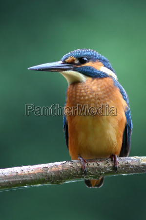 the kingfisher alcedo atthis