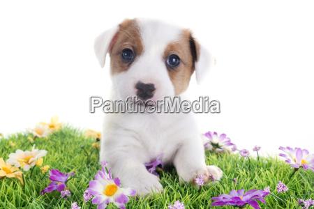 welpe jack russel terrier