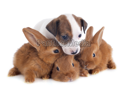 jack russel terrier und hasen