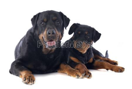 hund erwachsen welpe erwachsene rottweiler leckend