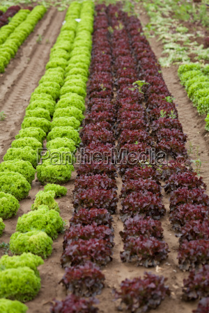 fresh green and red lettuce leaf