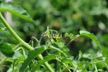 tomatenbluete