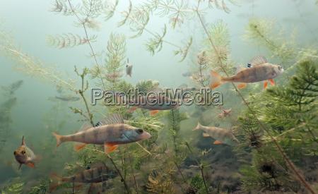 fisch unterwasser wildlife suesswasser see binnensee