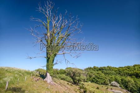 old dead tree on a meadow