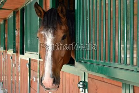 pferdekopf guckt aus der stallung