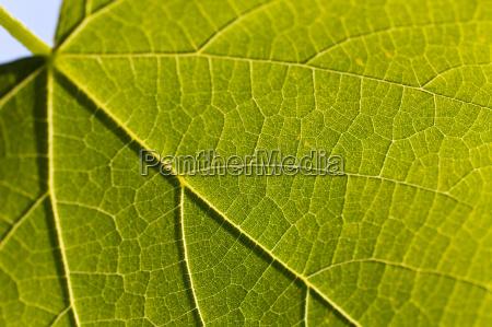 weinblatt blatt blaetter wein garten struktur
