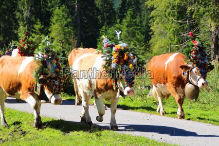 mountains austrians austria cows salt water