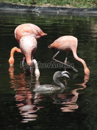 flamingos mit jungtier