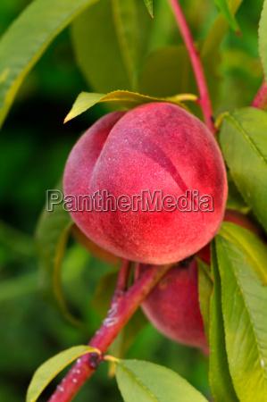 pfirsich pfirsichbaum baum obst frucht bio