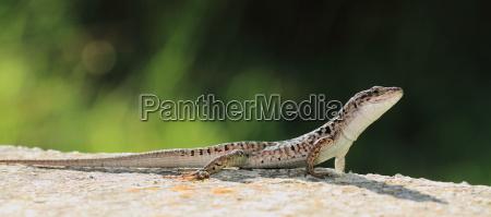 wall lizard sunbathing