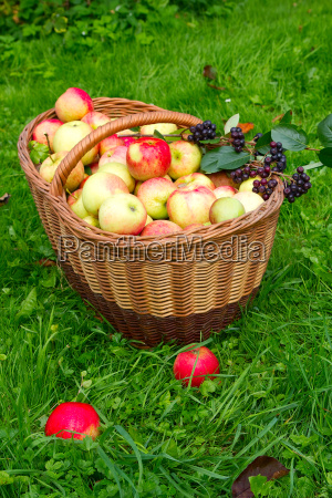 healthy organic apples in the basket