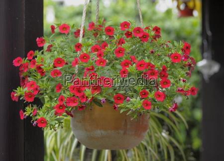 traffic light plant petunia petunia