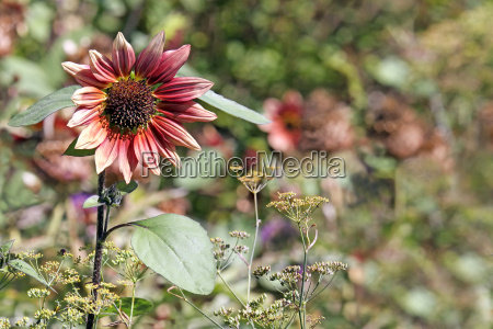 helianthus annuus ruby eclipse in autumn