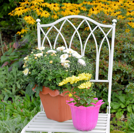 chrysanthemums on chair in autumn garden