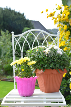 chrysanthemums in flowerpot on chair in