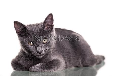chatreaux kitten