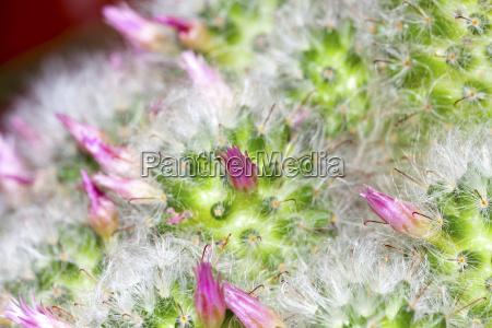 makroaufnahme kleine kaktusblueten