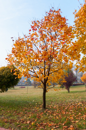 autumn maple tree in a park
