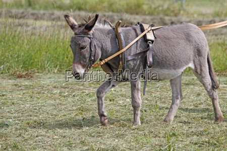 donkeys with collar