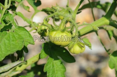 spanien tomaten