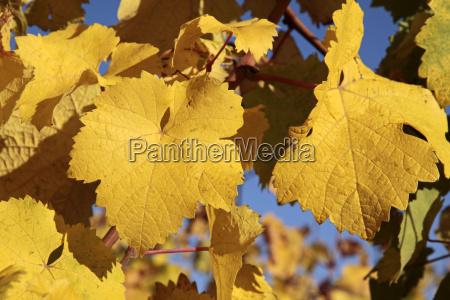 bright yellow wine leaves