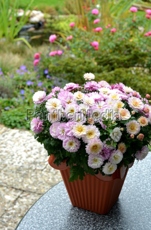 chrysanthemum bush in a flower pot