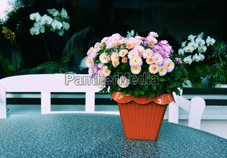 chrysanthemum on table