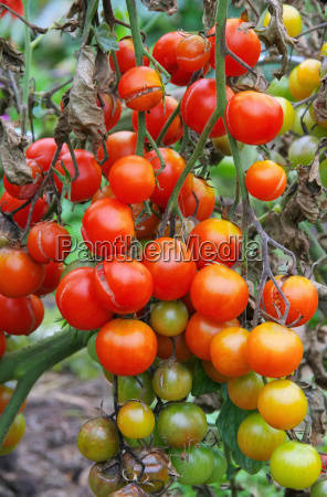 tomate braunfaeule tomato late blight